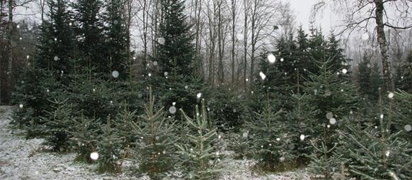 Weihnachtsbaum selber schlagen nurtingen